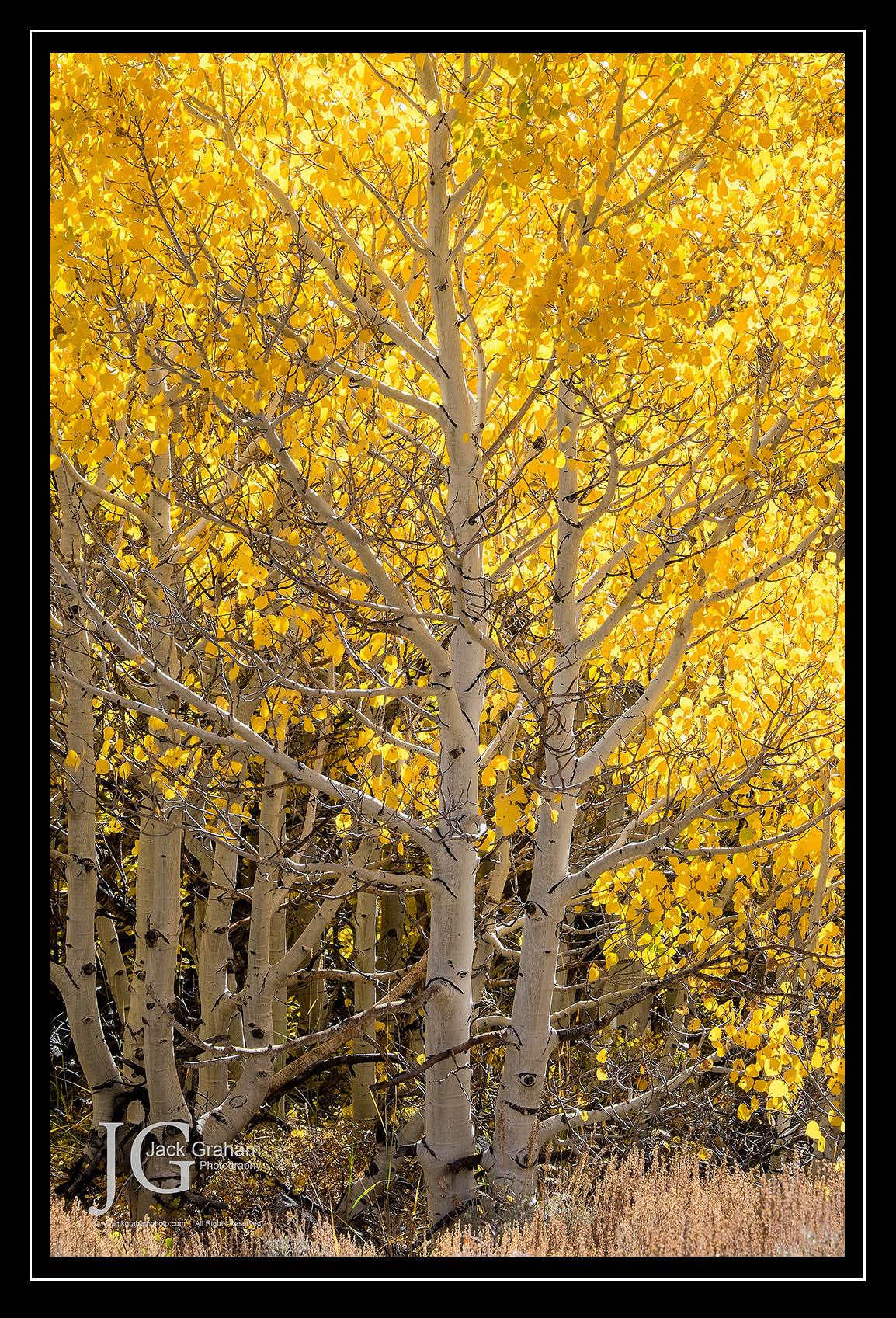 yellow aspens in Eastern Sierras