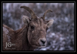 bighorn sheep. grand tetons, winter